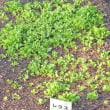 野菜苗の移植! インゲン、キャベツ、トウモロコシ