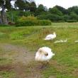 手賀沼に白鳥が生まれた