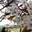 今日の桜 幸手市・権現堂堤 20180401