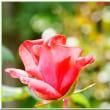 真瀬さんの薔薇の庭