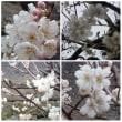 桜が咲いている♪