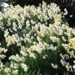 今治市波方町の大角海浜公園のスイセンの花も終わりに近づいています