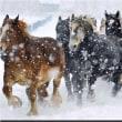 ◇【音更町駒場の家畜改良センター十勝牧場】・・・・・農用馬の運動不足解消や難産を防ぐための馬追い運動➡80頭の雪中疾走見事だろうナー!