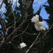 狂い咲き〜(๑>◡<๑)✨やね