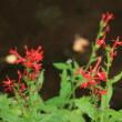 初秋の小石川植物園(5)ノブドウ、ソバナ、カラスウリ、ナンキンハゼ、ハゼ、ベニバナサワギキョウ、ヒガンバナ、スイフヨウ、フシノハアワブキ