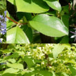 ニシキギの花