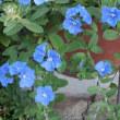 アメリカンブルー American Blue