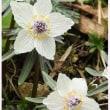 早春の花<セツブンソウ>