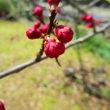 【有機肥料・ランドブレス】の畑 の梅