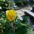 移植したバラが咲きました。