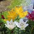 醒井  地蔵川の梅花藻