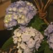 パンセで飾ってある紫陽花