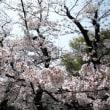 大岡川の桜が終盤です