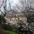 築地市場の佃林です。3月23日築地あかつき公園の桜が咲き始めました