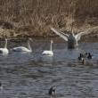 ガバ沼・多々良沼の白鳥、ミコアイサ、カワセミ2018
