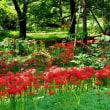 小石川植物園のヒガンバナ