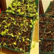 葉大根 花壇に植え替えるのを断念