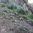 ブンタン園草刈摘果