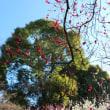 多摩エリアの各地で梅の見ごろを迎えています!