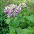 紫陽花もやっと色づいてきました。