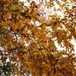 アキニレ(ニレ科・ニレ属)落葉高木