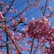豊後水道河津桜祭り