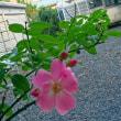 バラの葉に丸い穴