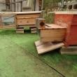 スズメバチ対策(西洋ミツバチ)