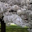 武蔵国分寺史跡の桜 2