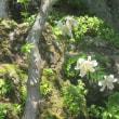 箱根美術館の山百合、最盛期です