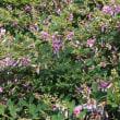 萩の花見ながら歩く偕楽園