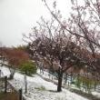 咲く花々に、春の雪