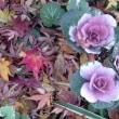 12/10 エリア2 ヤツデの花と紅葉の絨毯