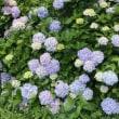 多摩湖自転車道の紫陽花
