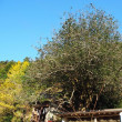 秋畑の大ツバキ 群馬県甘楽町