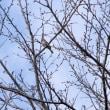 今朝の日の出前と桜の木のミヤマホオジロ