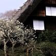 ボケの花の春
