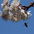 サクランボの花に集まる蜂