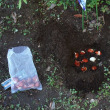 チューリップを植える!まずは3種☆