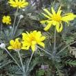 季節の花「ユリオプスデージー」
