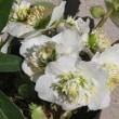 ニゲルの変化咲の花!..