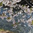 桜 -13-