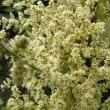 タラの木の花