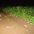 紅菜苔を植え付けました