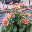 我が家の花たちを・・・