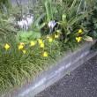 コルチカムが花盛りです