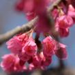 寒緋桜の開花で想い出す事