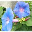 秋の七草か 夏を代表する花か…(^^♪「朝の美人の顔」にたとえた「朝の容花(かおばな)」 「アサガオ(朝顔)」