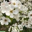 倉吉の花見