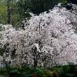 さくら・桜・サクラ 咲いたよ